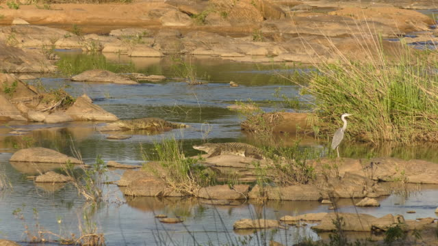 african crocodiles basking with gray heron wide shot - abblenden stock-videos und b-roll-filmmaterial