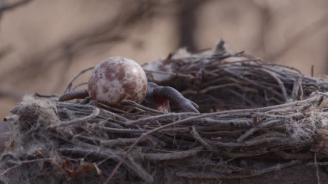 african cuckoo (cuculus gularis) chick attempts to push fork tailed drongo egg out of nest, zambia - bird's nest stock videos & royalty-free footage