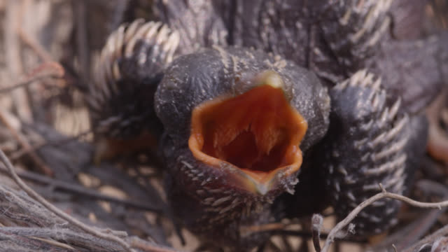 african cuckoo (cuculus gularis) chick begs for food in fork tailed drongo nest, zambia - bird's nest stock videos & royalty-free footage