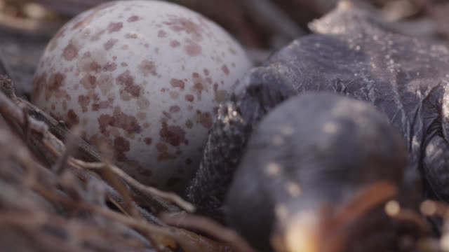 African cuckoo (Cuculus gularis) chick in fork tailed drongo nest, Zambia
