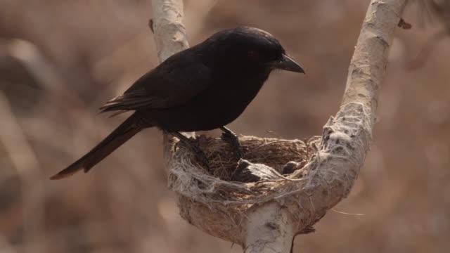 vídeos de stock, filmes e b-roll de african cuckoo (cuculus gularis) chick in fork tailed drongo nest, zambia - protozoário