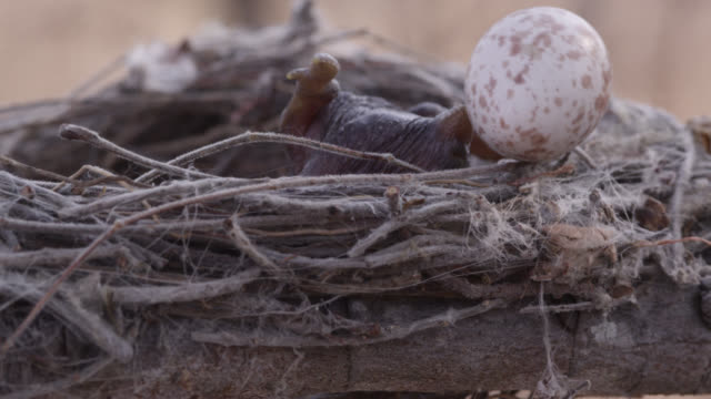 African cuckoo (Cuculus gularis) chick pushes fork tailed drongo egg out of nest, Zambia