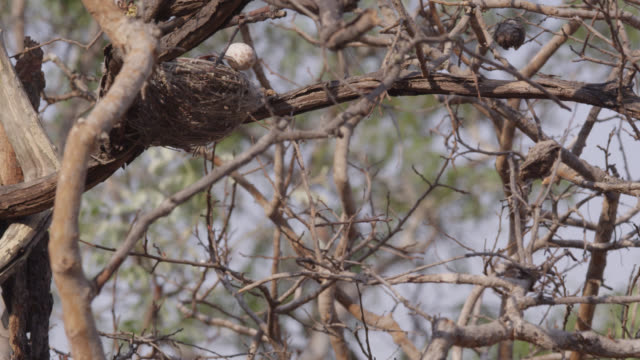 african cuckoo (cuculus gularis) chick pushes fork tailed drongo egg out of nest, zambia - drongo stock videos & royalty-free footage