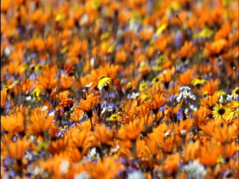 African daisies (Osteospermum) in bloom on veldt, Namaqualand, South Africa