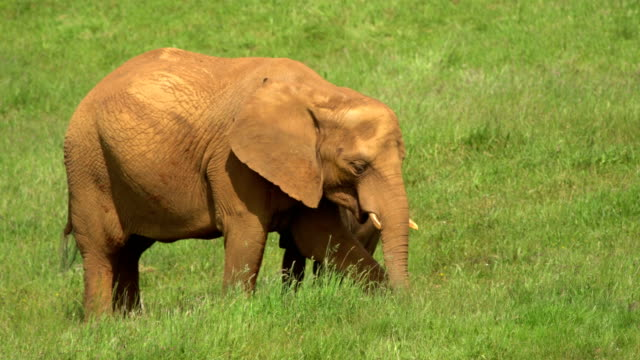 african elaphant (mother and child) - animal family stock videos and b-roll footage
