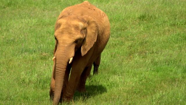 Afrikanische Elaphant (Mutter und Kind)