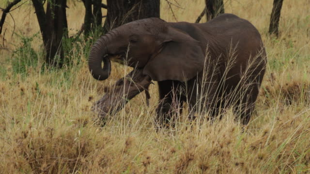 African Elephant- a young cub trying to take grass with the trank and eat, with a very little success