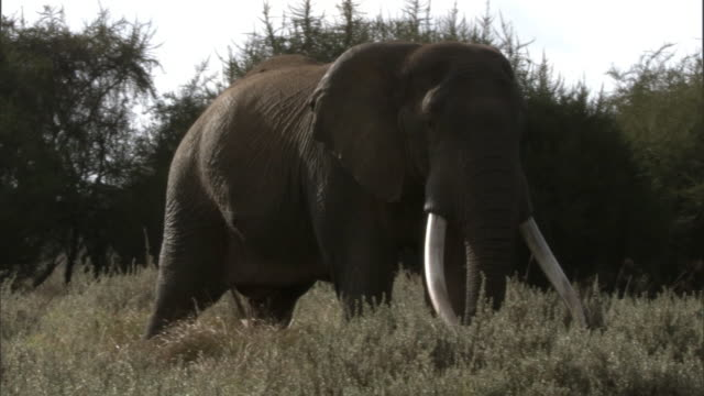 African elephant (Loxodonta africana), Aberdare, Kenya