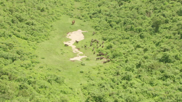 WS ZO AERIAL African elephant and African buffalos running nearby puddle in rainforest / Kenya