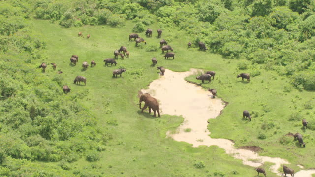 ws aerial african elephant and african buffalos walking and grazing nearby puddle in lush area / kenya - ecosystem stock videos & royalty-free footage