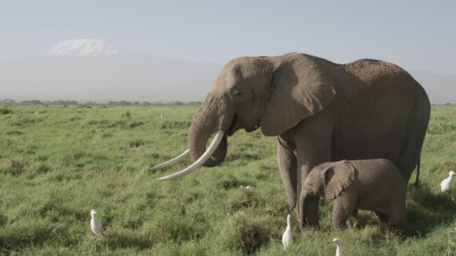 african elephant (loxodonta africana) and baby graze on savannah, kenya - elefant stock-videos und b-roll-filmmaterial
