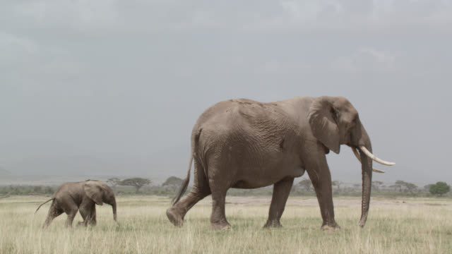 vídeos de stock, filmes e b-roll de african elephant (loxodonta africana) and calf on savannah, kenya - elefante