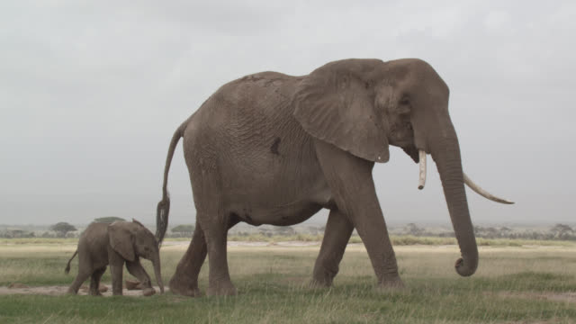 african elephant (loxodonta africana) and calf on savannah, kenya - young animal video stock e b–roll