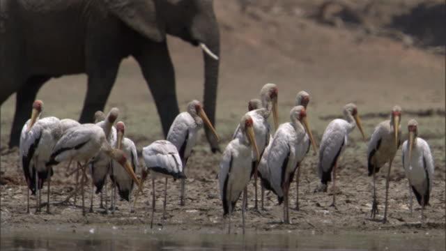 African elephant (Loxodonta africana) and yellow billed storks (Mycteria ibis) on riverbank, Luangwa, Zambia