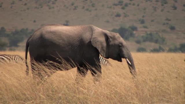 ms, pan, african elephant (loxodonta africana) and zebras (equus burchellii) in savanna, masai mara, kenya - steppenzebra stock-videos und b-roll-filmmaterial