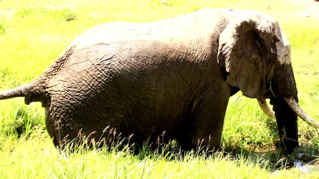 afrikanische elefanten im wild - grasen stock-videos und b-roll-filmmaterial