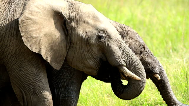 African Elephant at wild
