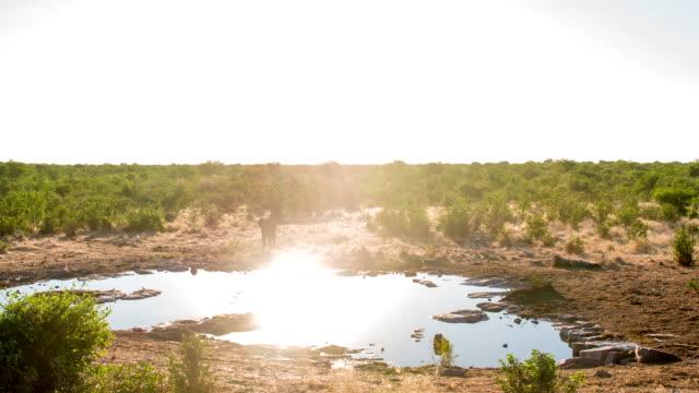 vidéos et rushes de ws éléphant d'afrique sur le plan d'eau - plan d'eau