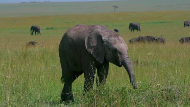 stockvideo's en b-roll-footage met african elephant calf grazing, masai mara, kenya, africa - neus van een dier