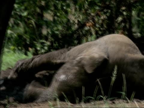 african elephant calf, loxodonta africana, rolls in dirt, botswana, africa - mud stock videos & royalty-free footage