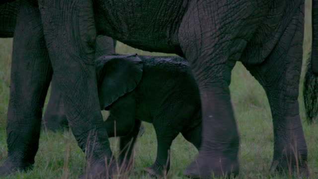 African Elephant & Calf Maasai Mara  Kenya  Africa