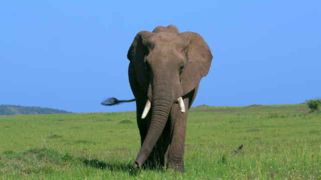 african elephant & calf maasai mara, kenya, africa - elephant stock videos & royalty-free footage