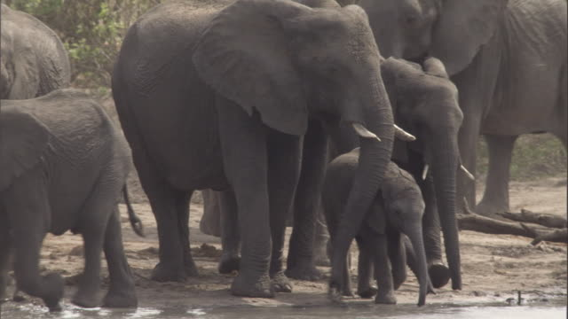 stockvideo's en b-roll-footage met african elephant calves stay near adults as they wade into a river. available in hd. - waden