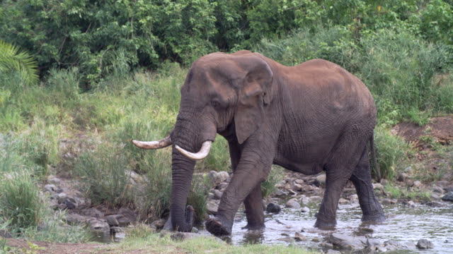 WS African elephant (Loxodonta africana) crossing river / Kruger National Park/ Mpumalanga/ South Africa
