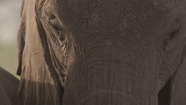 vidéos et rushes de african elephant (loxodonta africana) dozes whilst standing up, kenya - elephant