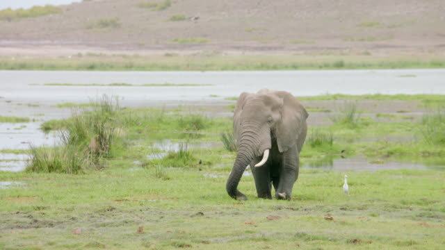 MS TS African Elephant eating grass and walking on marshy landscape / Kenya