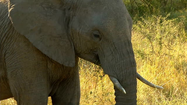 MS African Elephant eating grass / Kruger National Park/ Mpumalanga/ South Africa