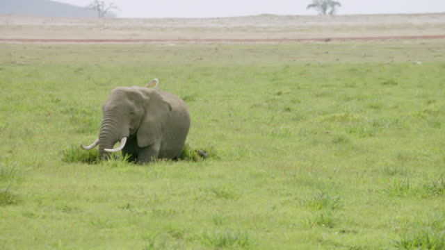 ms tu african elephant eating grass with stork / kenya - zoology stock videos and b-roll footage