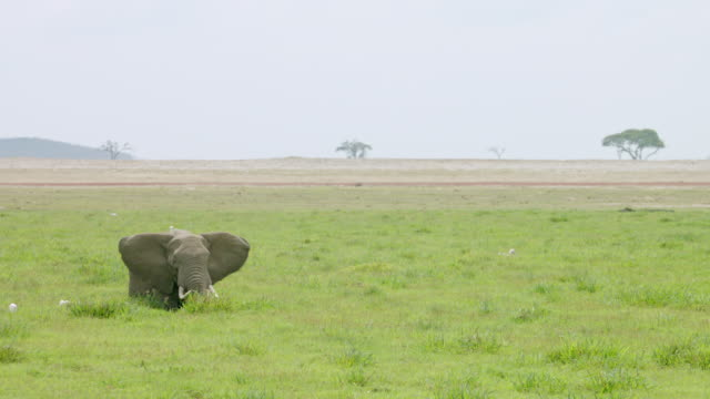 WS African Elephant eating grass with stork / Kenya