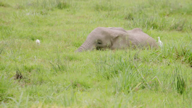 ms tu african elephant eating grass with storks / kenya - zoology stock videos and b-roll footage
