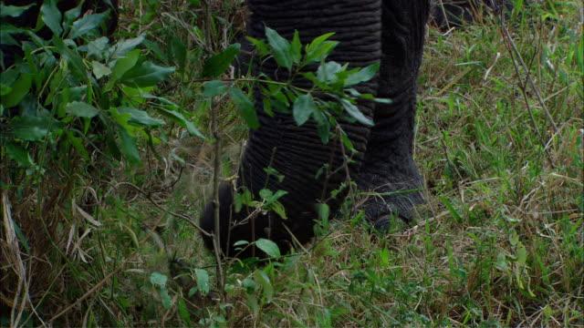 MS ZI TU African elephant eating / Kenya