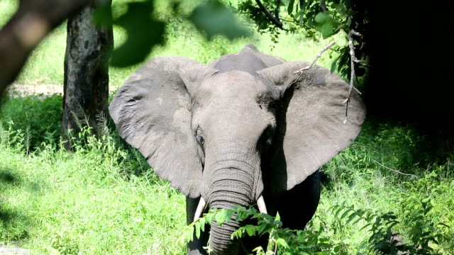 african elephant eating, malawi - malawi stock videos & royalty-free footage