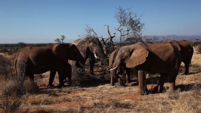 african elephant-  family eating dry acacia tree - medium group of animals stock videos & royalty-free footage