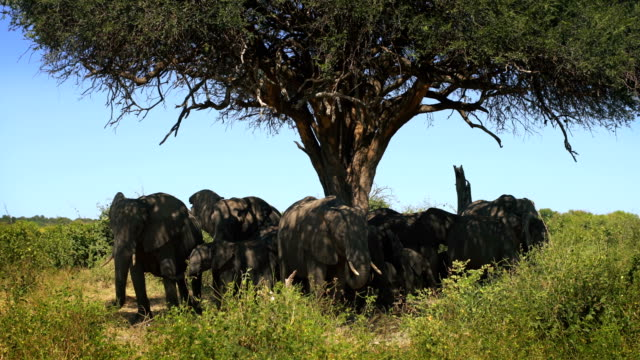 african elephant family herd - acacia tree stock videos & royalty-free footage
