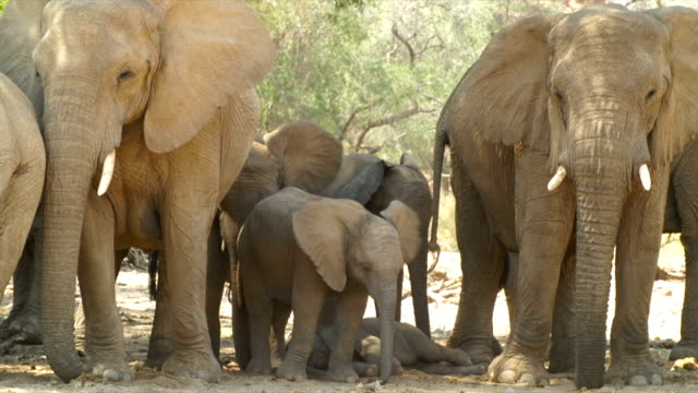 MS African Elephant family standing in shadow / Namibia
