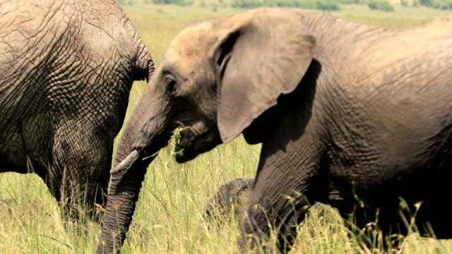 afrikanische elefanten familie - grasen stock-videos und b-roll-filmmaterial