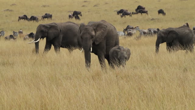 African Elephant-  family walking in open yellow savannah, big herd of Wildebeest and Zebras in the back