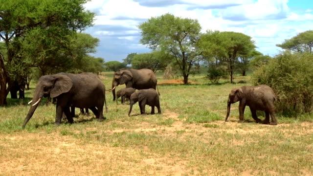 african elephant feeding himself in a bush - herbivorous stock videos & royalty-free footage