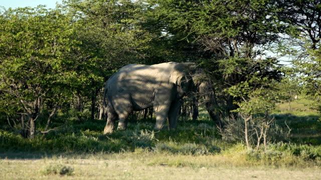 african elephant feeding in a bush - herbivorous stock videos & royalty-free footage