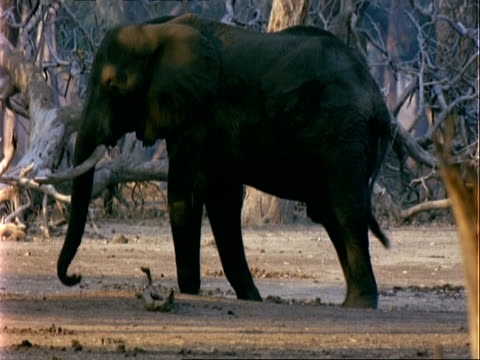 african elephant (loxodonta africana), cu feeds on acacia pods on ground, zoom out to chacma baboons and antelope in foreground - 厚皮動物点の映像素材/bロール