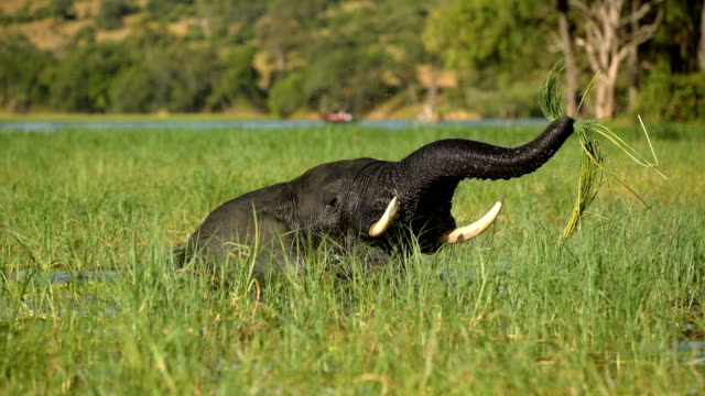 African elephant fun in water