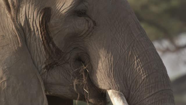 african elephant (loxodonta africana) grazes on savannah, kenya - grazing stock videos & royalty-free footage