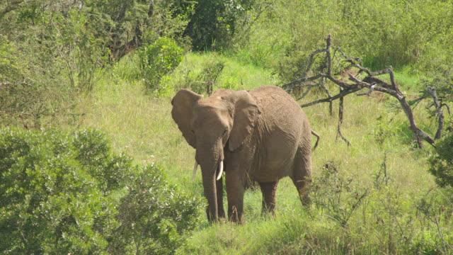 WS AERIAL African Elephant grazing / Kenya