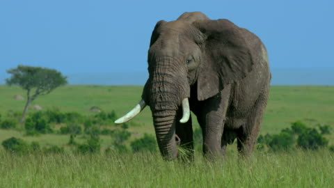 african elephant grazing, maasai mara, kenya, africa - audio available stock videos & royalty-free footage