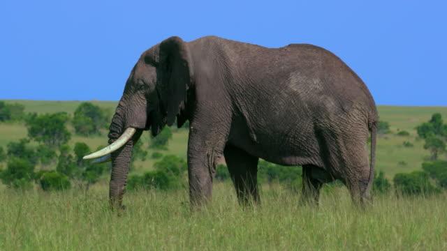 vídeos de stock e filmes b-roll de african elephant grazing, maasai mara, kenya, africa - elefante
