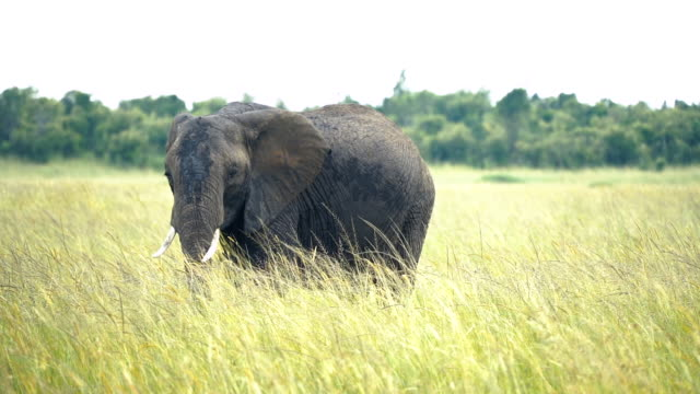 african elephant grazing - natural parkland stock videos & royalty-free footage